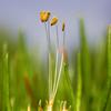 Littorella uniflora